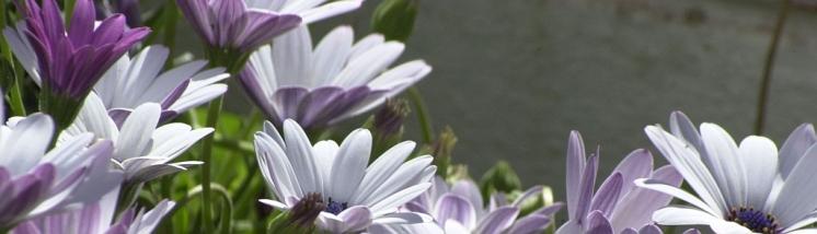 Lilaa ja valkoista Algarvesta