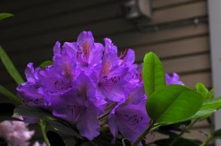 Rhododendron villioksan kaunis lila, Casa Marina Airisto