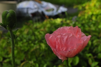 The first poppy, Casa Marina Airisto
