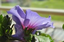 Hibiscus from Malaysia, Casa Marina Airisto