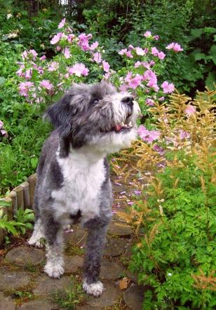 Our Dog Triky with flowers, Casa Marina Airisto