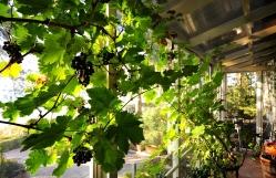 Molemmat vanhat viinipuut
