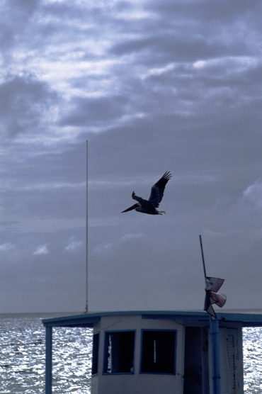 Pelican and the fishing vessel