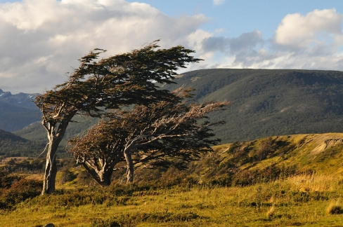 Lenga trees in Harberton