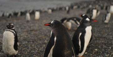 Pingviini kiiltelee satessa
