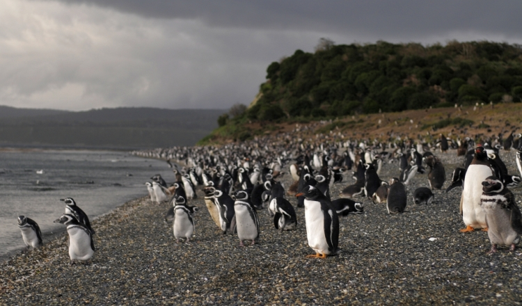 Penguins leaning towards the wind