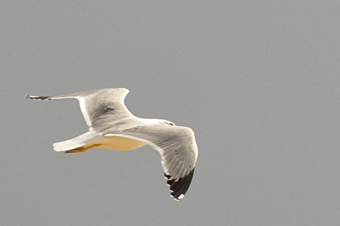 Albatrossi.4