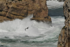 Cabo St Vincent lokki leikkii