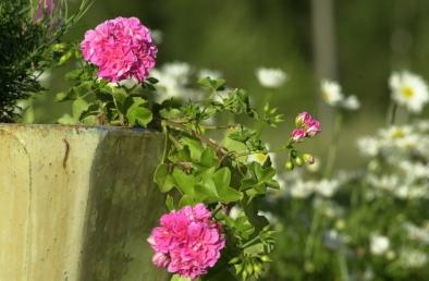 Hiekkaharjun kukkia