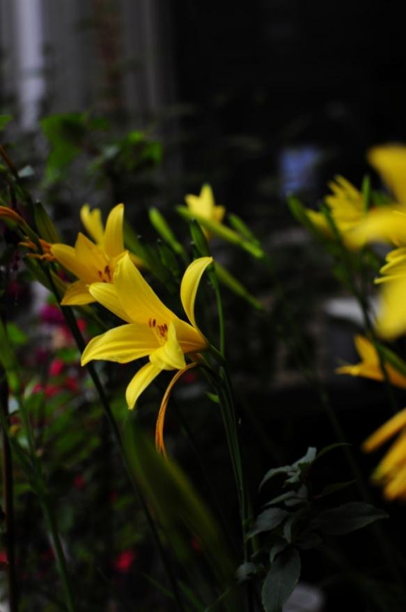 Kevätliljat huhtikuu 2012