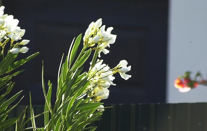 Kukkia aamuauringossa