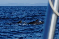 Small whales in mid Biscay.jpg