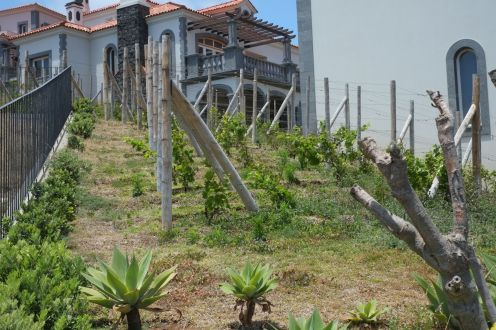 Wine trees at Quinta do Lorde