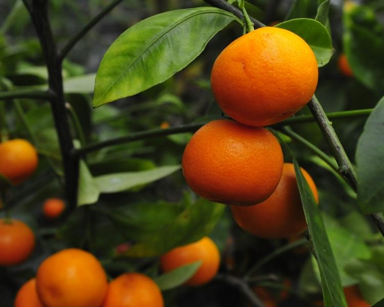 appelsiinipuu