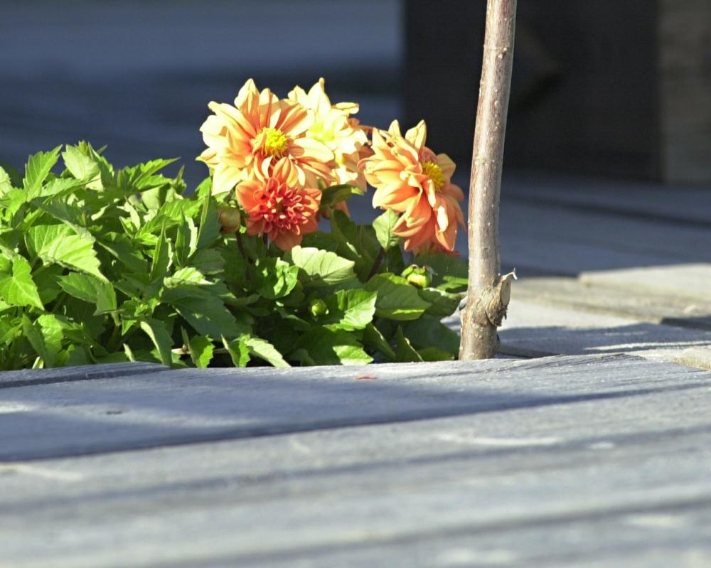 hiekkaharjun-kukkia