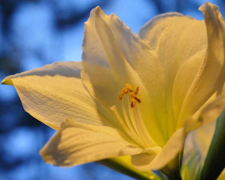 valkoinen-amaryllis